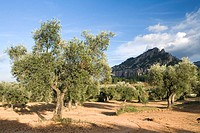 Olive trees fields. Horta de Sant Joan, Tarragona province, Catalonia, Spain