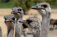 Close-up of four ostriches Struthio Camelus in a field, Oudsthoorn, Little Karoo, Karoo, Western Cape Province, South Africa