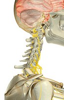 The nerve supply of the neck