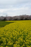 Cherry blossoms and rape field, high angle view, Japan