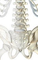 The bones of the lower back