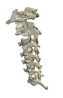 The cervical vertebrae