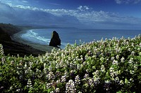 Lupines and coastline at Cape Blanco, Oregon