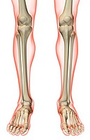 The bones of the leg