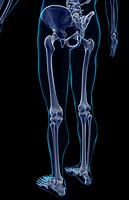 The bones of the lower body (thumbnail)