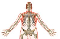 The bones of the upper body
