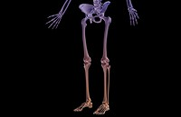 The bones of the lower body