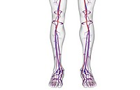 The blood supply of the leg