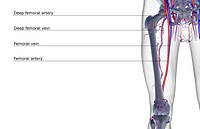 The blood supply of the thigh