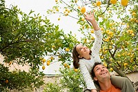 Girl on fathers shoulder carrying picking lemons