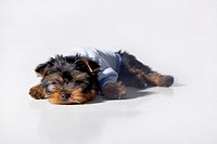 Yorkshire Terrier dog wearing a blue sweater sleeping on the floor