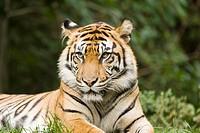 Siberian Tiger at Toronto Zoo, Toronto, Ontario, Canada