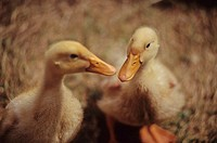 Ducklings close up in barn, nuzzle beaks, Pemberton, BC