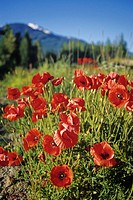 Red poppies bloom, Whistler Mountain in background