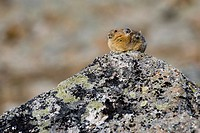 A Pika sits atop a rock in an alpine rocky area Canada, Alberta, Jasper National Park, Skyline Trail
