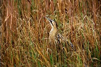 animal,bird,bittern