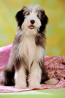animal,dog,Bearded-Collie,puppy