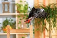 Congo African Grey parrot - flying - Psittacus erithacus