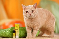 British Shorthair cat - standing next to medicine