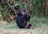 young savanna chimpanzee - munching - Pan troglodytes