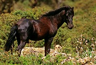 Sardinian horse - standing lateral