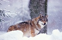 wolf in snow - Canis lupus