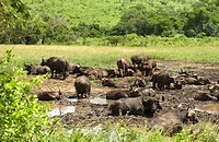 African buffaloes - wallowing - Syncerus caffer