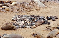young African fur seals - at the beach - Arctocephalus pusillus