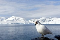 snowy sheatbill - Chionis alba