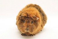 Curly guinea pig - cut out