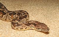 boa constrictor female - Boa constrictor