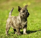 Cairn Terrier puppy - standing on meadow restrictions:Tierratgeber-Bücher , Zeitschriften bis 31 12 2007 - animal guidebooks , magazines till 31 12 20...