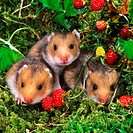 three young golden hamsters - Mesocricetus auratus