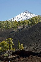Trees with mountain peak in background, Pico De Teide, El Teide National Park, Tenerife, Canary Islands, Spain
