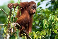 Orang-Utan (Pongo pygmaeus), sitting in a tree, rainforest,  Borneo, Kalimantan, Indonesia