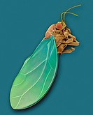 SEM an adult potato tomato psyllid Bactericera cockerelli or Paratrioza cockerelli, mag 7x at 24 x 36 mm Also called jumping plant lice, adults resemb...