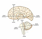 ´Medical illustration of the longitudinal axes of the central nervous system brain and spinal cord, lateral view Axes labeled for the brain are the ro...