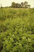 Field of ragweed plants Ambrosia sp in Ohio, USA Ragweed pollen is a common allergen and a cause hay fever