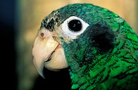 Domenican Republic, local green parrot