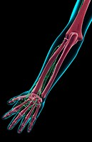 The lymph supply of the forearm