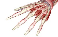 The muscles of the hand (thumbnail)