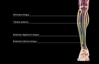 The muscles of the leg