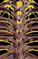 The thoracic spinal cord