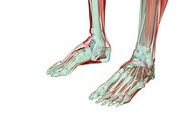 The musculoskeleton of the feet