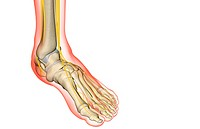 The nerves of the foot