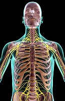 The nerves of the upper body
