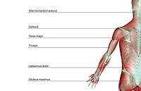 The musculoskeleton of the upper limb