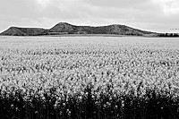 Field, Monegros. Huesca province, Aragon, Spain