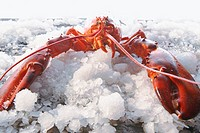 Lobster on crushed ice