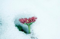 Flower seen through hole in snow